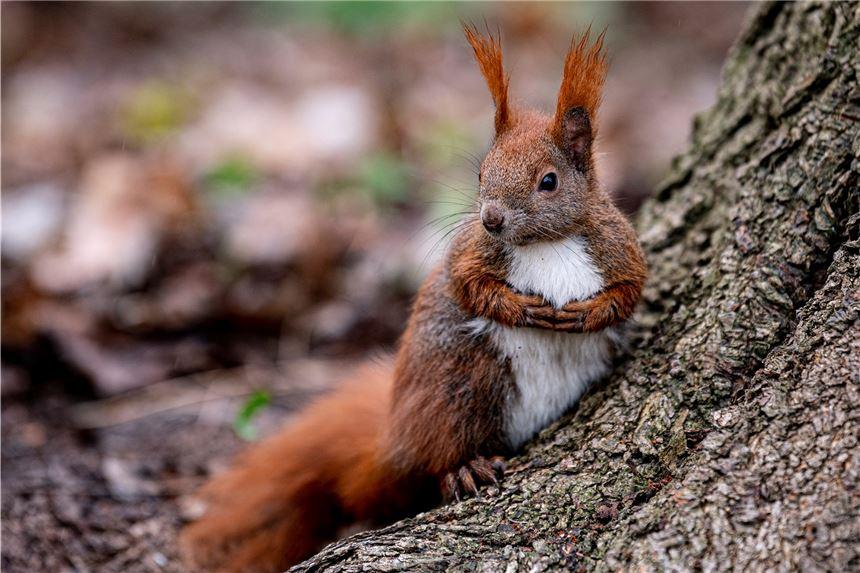 Eichhörnchen Zutraulich